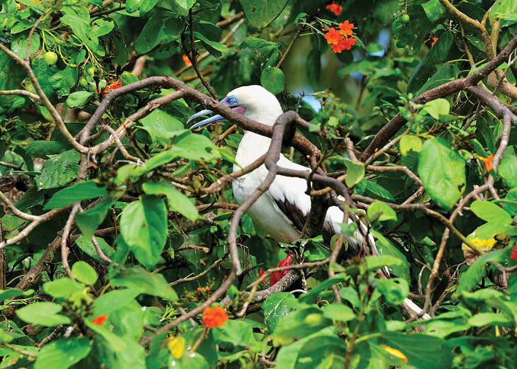 The red-footed booby colonizes Lighthouse Reef's Half Moon Caye, a protected breeding site. Photo © Lebawit Lily Girma.