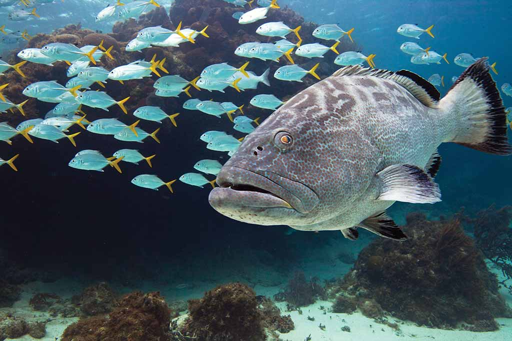 Black grouper fish alongside a school of horse-eye jack. Photo © Lebawit Lily Girma.