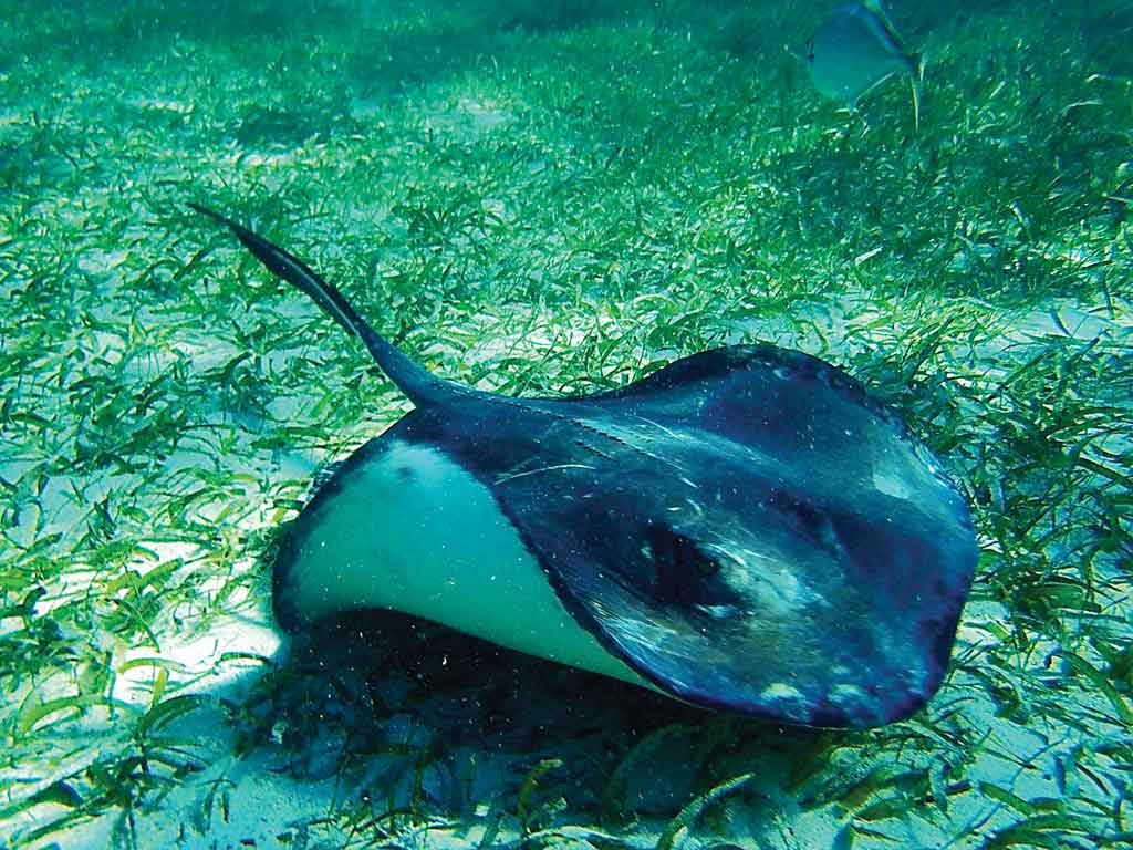 A stingray at Caye Caulker Marine Reserve. Photo © Lebawit Lily Girma.