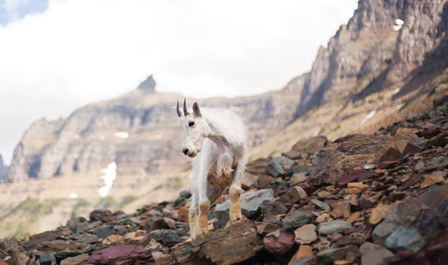 Shaggy mountain goats are a regular sighting in Glacier National Park.