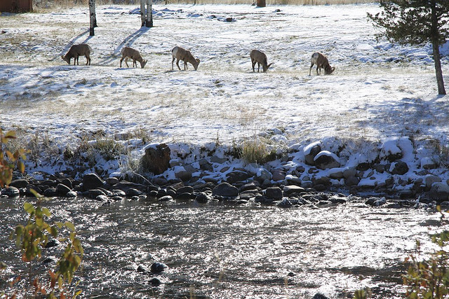 A row of sheep grazing along the snow-covered banks of Rock Creek.