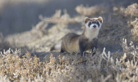 This ferret was thought to be extinct (Flickr: USFWS Mountain Prairie)