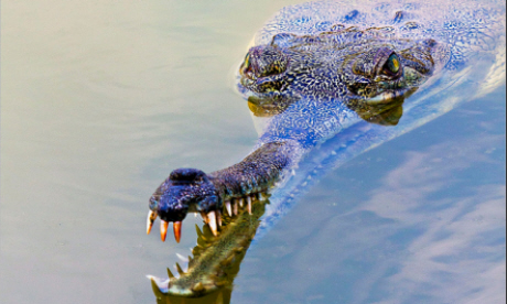 Gharial crocodiles are predominantly found in India's deep rivers (Flickr: shivan)