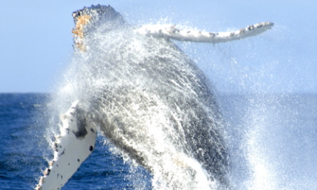 Humpback whales migrate epic distances every year (Dreamstime)