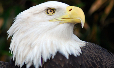 And one for good measure: the bald eagle (Flickr: Pen Waggener)
