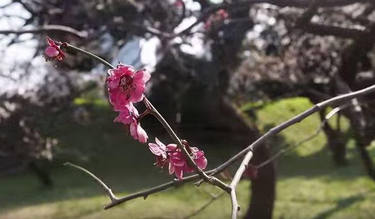 Ume plum blossom at Imperial Gardens Tokyo