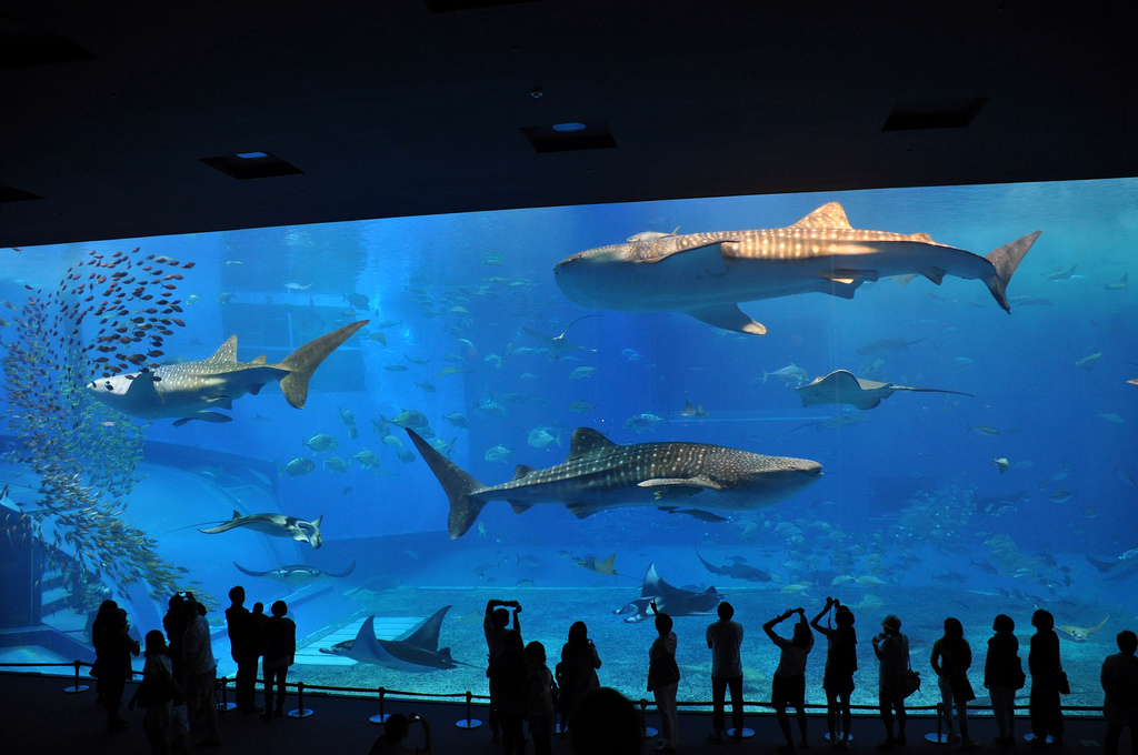 Churaumi aquarium big aquarium whale sharks