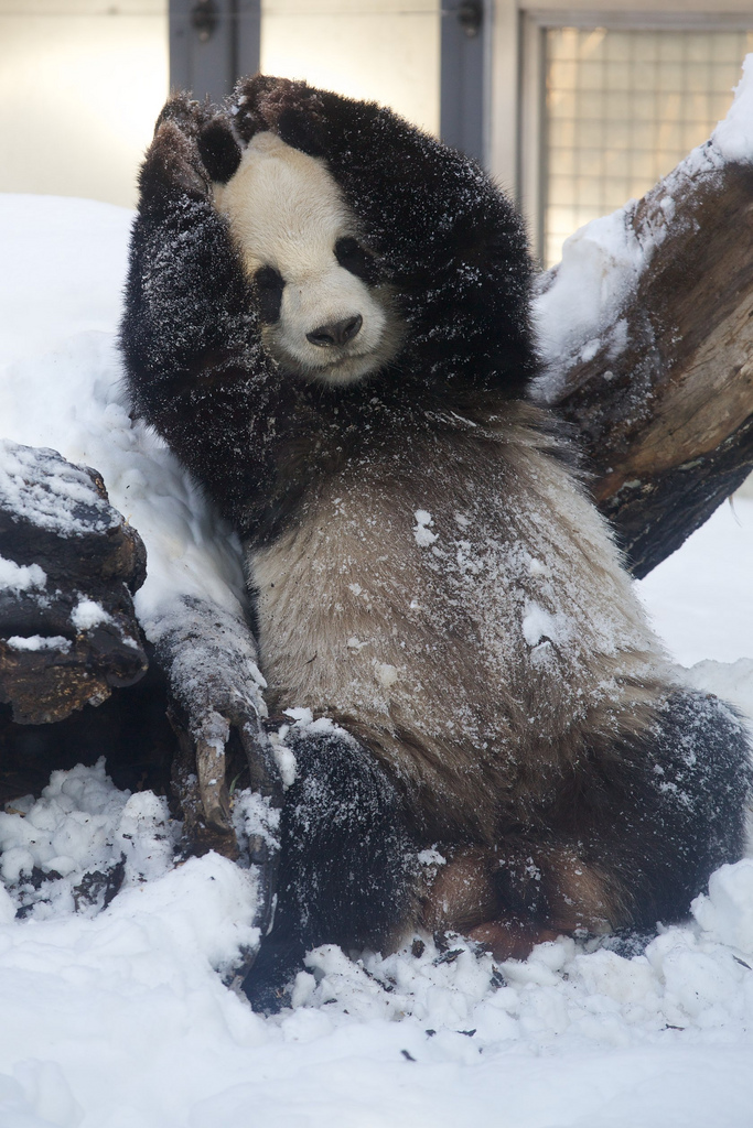 Giant Panda Li Li Loved the Snow at Ueno Zoo 2