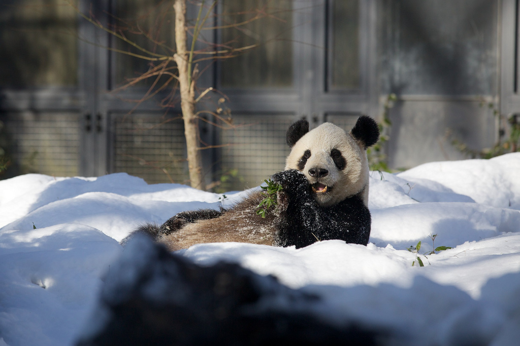 Giant Panda Li Li Loved the Snow at Ueno Zoo