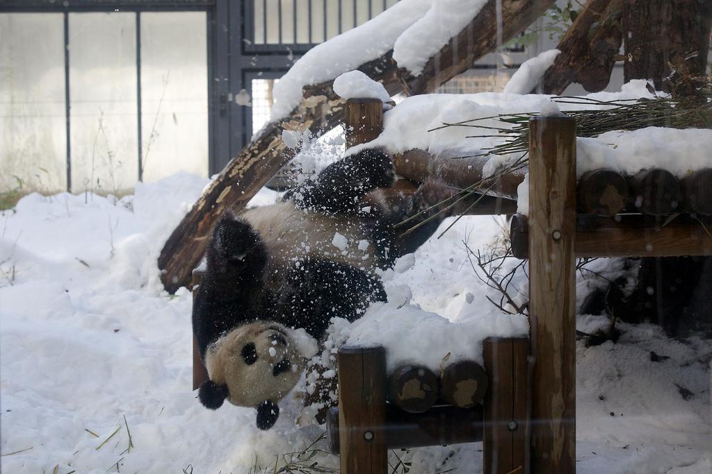Giant Panda Shin Shin Plays in Snow at Ueno Zoo
