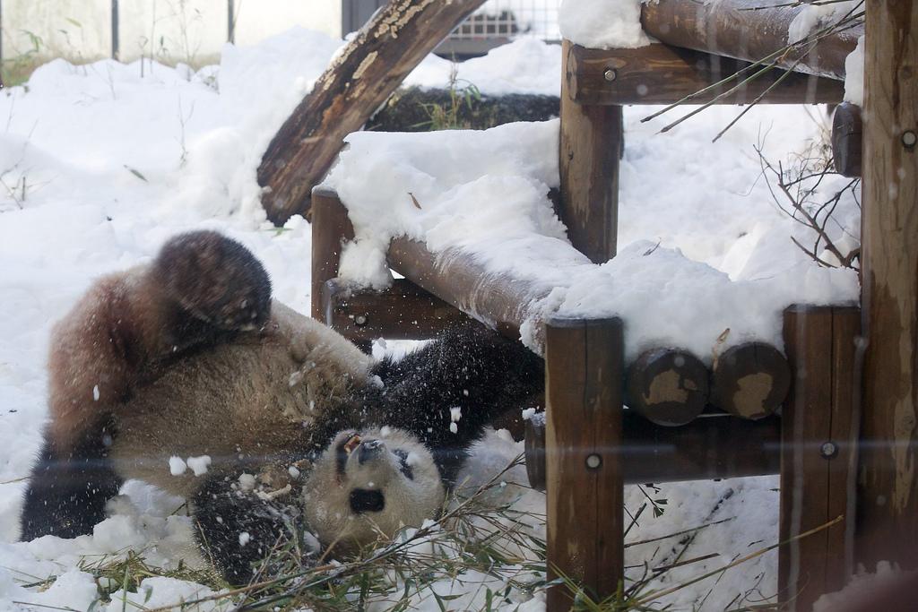 Giant Panda Shin Shin Plays in Snow at Ueno Zoo 3
