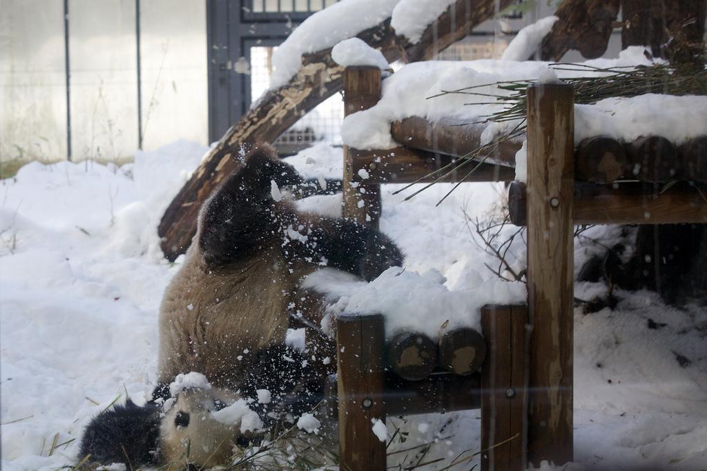 Giant Panda Shin Shin Plays in Snow at Ueno Zoo 2