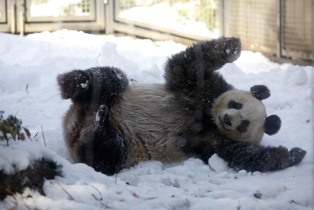 Giant Panda Shin Shin Plays in Snow at Ueno Zoo 4