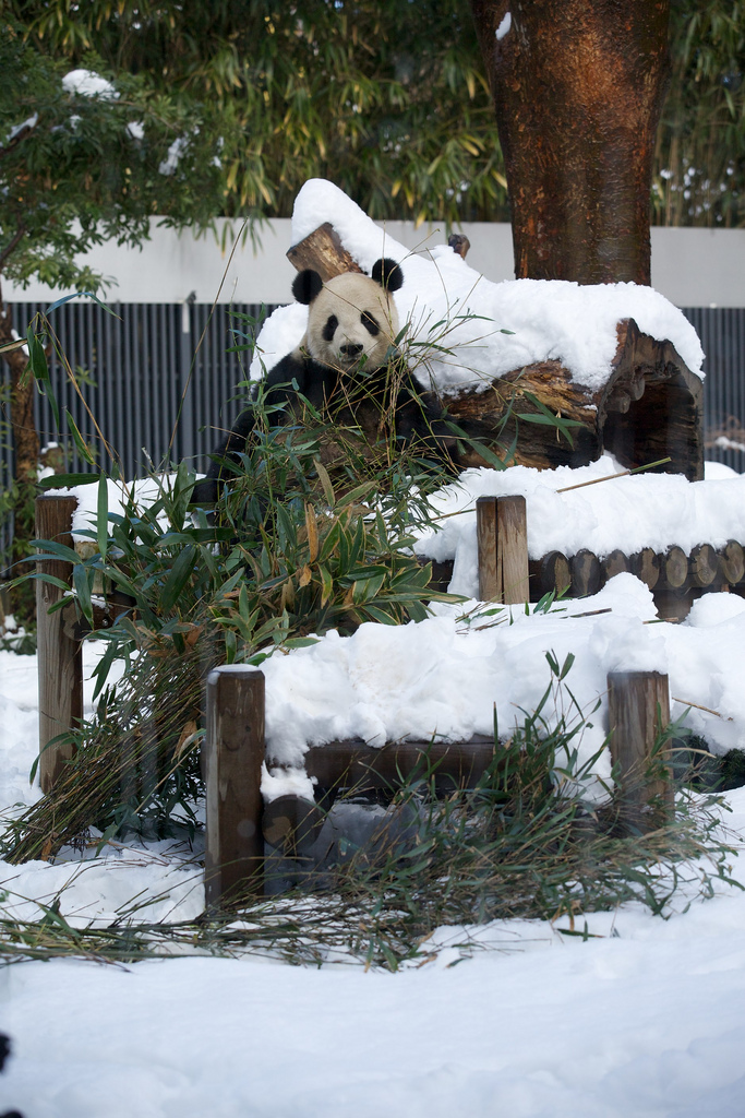 Giant Panda Li Li Loved the Snow at Ueno Zoo 3