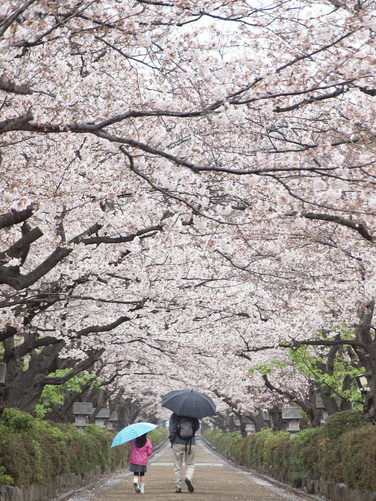 Dankazura is a pedestrian path in the center of Wakamiya Oji street, lined with hundreds of cherry trees. During the cherry blossom season, which usually takes place in the beginning and mid April, the trees form a spectacular tunnel of white blossoms.