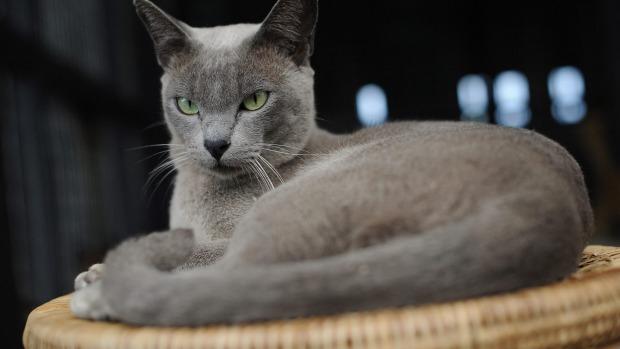 Inle Lakes Myanmar Cat Village The Return Of Burmese Felines Other